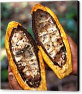 Fungal Infection Of Cacao Canvas Print by Science Source