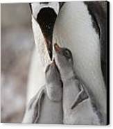 Gentoo Penguin Feeding Its Two Chicks Canvas Print by Tom Murphy