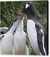Gentoo Penguin Parent And Two Chicks Canvas Print