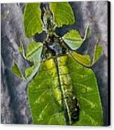 Giant Leaf Insect Canvas Print