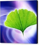 Ginkgo Leaf Canvas Print by Pasieka