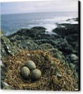 Glaucous-winged Gull Nest With Three Canvas Print by Joel Sartore