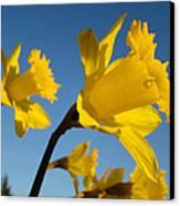 Glowing Yellow Daffodil Flowers Art Prints Spring Canvas Print