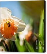 Golden Daffodils  Canvas Print