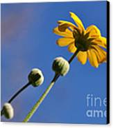 Golden Daisy On Blue Canvas Print by Kaye Menner