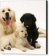 Golden Retriever And Puppies Canvas Print by Jane Burton