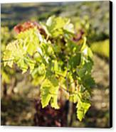 Grape Leaves Canvas Print by Jeremy Woodhouse
