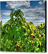 Grape Vines Up Close Canvas Print