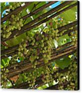 Grapes Grow On Vines Draped Canvas Print by Heather Perry