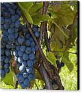 Grapes On A Vine Sutton Junction Quebec Canvas Print by David Chapman