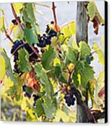 Grapes On Vine Canvas Print by Jeremy Woodhouse
