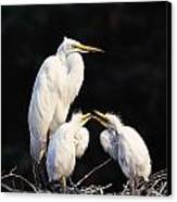 Great Egret In Nest With Young Canvas Print