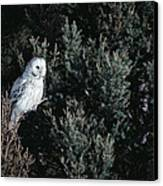 Great Gray Owl Strix Nebulosa In Blonde Canvas Print by Michael Quinton