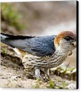 Greater Striped Swallow Canvas Print by Peter Chadwick
