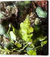 Green Arrowhead Crab, Papua New Guinea Canvas Print