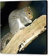 Grey Squirrel Feeding Canvas Print by Duncan Shaw