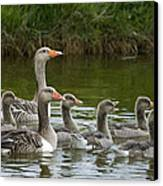 Greylag Goose Anser Anser Couple Canvas Print by Willi Rolfes