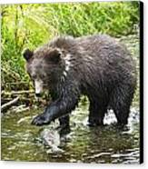 Grizzly Cub Catching Fish In Fish Creek Canvas Print