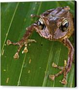Ground Frog Nakanai Mts Papua New Guinea Canvas Print by Piotr Naskrecki