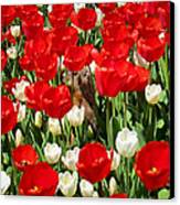 Groundhog Day - A Curious Marmot Peeking Through Luminous Red And White Spring Tulips On A Sunny Day Canvas Print by Chantal PhotoPix