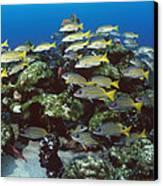 Grunt School Along Coral Reef Cocos Canvas Print by Flip Nicklin