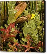 Hampshire Purslane (ludwigia Palustris) Canvas Print by Bob Gibbons