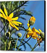 Happy Daisies Canvas Print by Kaye Menner