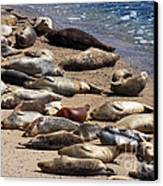 Harbor Seals Sunbathing On The Beach . 40d7553 Canvas Print