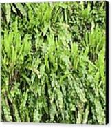 Hart's Tongue Fern Canvas Print by Adrian Bicker