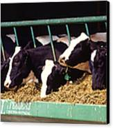 Holstein Dairy Cows Canvas Print by Photo Researchers