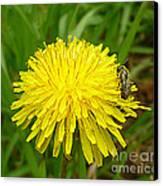 Honey Bee Full Of Pollen Canvas Print by Renee Trenholm