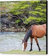 Horse Grazing Canvas Print by Thanks for choosing my photos.