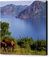 Horse With Offspring Grazing, Island Of Corsica, France, July 2010 Canvas Print by Elfi Kluck