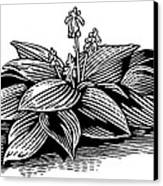 Hosta, Lino Print Canvas Print
