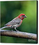 House Finch Bird . 40d8331 Canvas Print by Wingsdomain Art and Photography