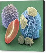 Human Blood Cells, Sem Canvas Print