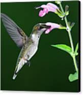 Hummingbird Feeding On Pink Salvia Canvas Print by DansPhotoArt on flickr