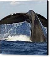 Humpback Tail Canvas Print by Dave Fleetham