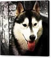 Husky Canvas Print by Tilly Williams