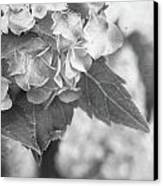 Hydrangeas In Black And White Canvas Print