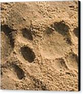 Jaguar Tracks Canvas Print by Tony Camacho