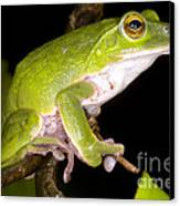 Japanese Rhacophoprid Frog Canvas Print by Dante Fenolio