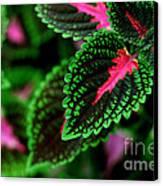 Joesphs Lace Canvas Print by Chris Hill