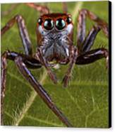 Jumping Spider Papua New Guinea Canvas Print by Piotr Naskrecki