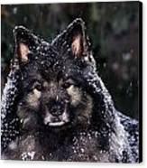 Keeshond Dog, Winnipeg, Manitoba Canvas Print by Mike Grandmailson