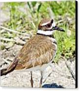 Killdeer Pose Canvas Print by Lynda Dawson-Youngclaus
