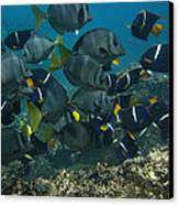 King Angelfish Holacanthus Passer Canvas Print by Pete Oxford