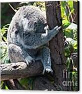 Koala Canvas Print by Carol Ailles
