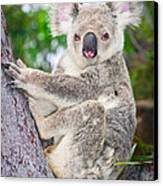 Koala  Canvas Print by Johan Larson