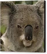 Koala Phascolarctos Cinereus Portrait Canvas Print by Pete Oxford